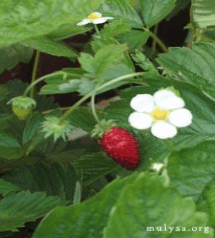 Wild Strawberry (image courtesy of mulysa.org)