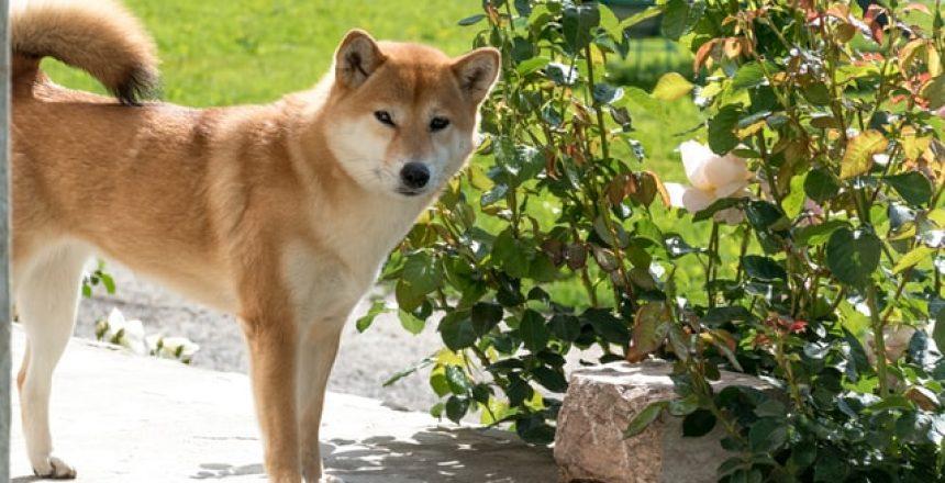 Doge Dog